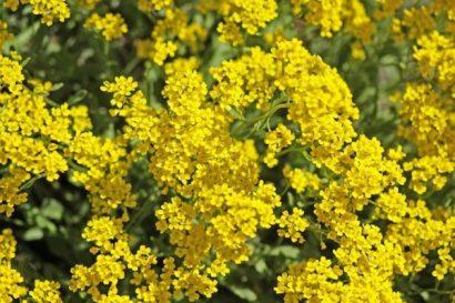 Comprar semenres de Alyssum Amarela (Flor-de-Mel)