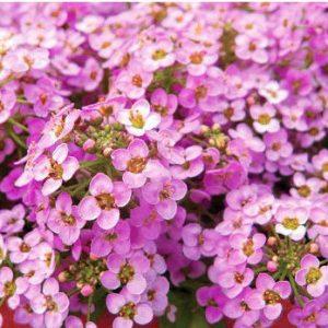 Comprar Sementes de Alyssum Rosa (Flor-de-Mel)