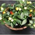 Comprar Sementes Pimenta Redonda para Vaso