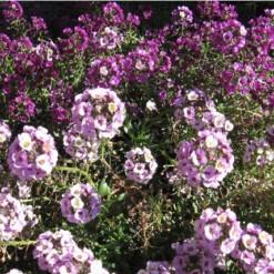 Sementes de Alyssum Flor Violeta