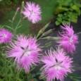 Sementes de Franjas Rosa (Dianthus superbus)