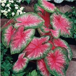 Bulbo de Planta Caladium Bicolor
