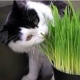 Sementes de Grama-dos-Gatos (Cat Glass)