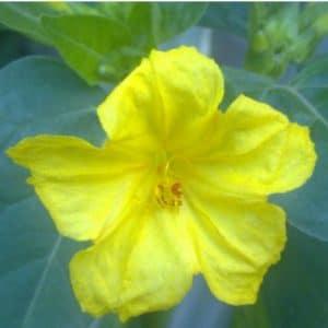 Sementes de Maravilha do Peru Amarela
