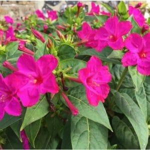 Sementes de Maravilha do Peru Rosa