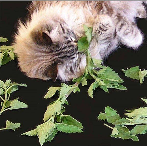 Comprar Erva dos Gatos (Catnip)