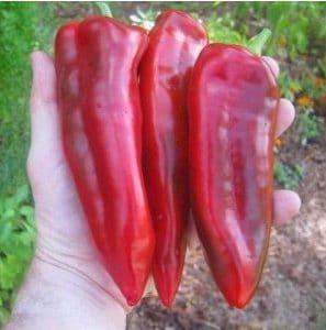 Comprar Sementes Orgânicas de Pimentão Marconi