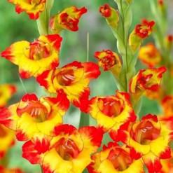 Bulbos de Gladiolo Alana (Amarelo)