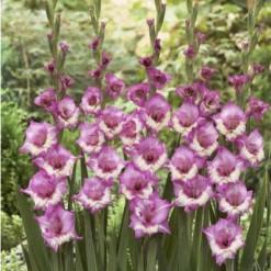 Bulbos de Gladiolo Zippora (Rosa)