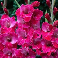 Bulbos de Palma Eva Puixeu (Rosa Pink)