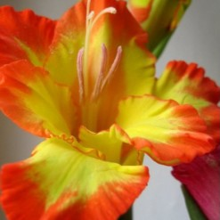 Bulbos Gladiolo Farah (Amarelo e Vermelho)