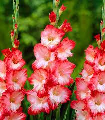 gladiolo-pink-lady