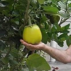 Plantar Jiló Gigante