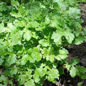 Plantar Sementes Agroecológicas de Mostarda Lisa