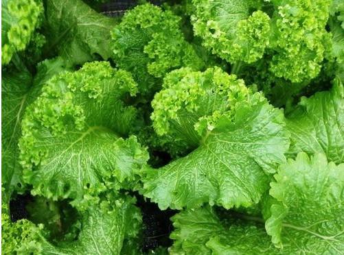 Plantar Sementes de Mostarda Crespa AGROECOLÓGICO