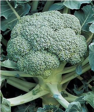 Comprar Sementes Crioulas de Brócolis Ramoso AGROECOLÓGICO