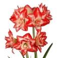 Amarilis Blossom Bingo Bulbo