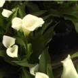 Copo de Leite Branco Bulbo Para Plantar