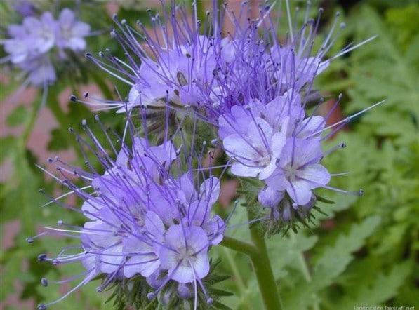 Sementes de Facélia Azul