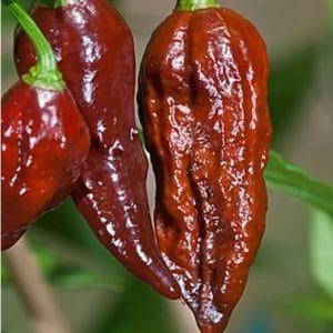Sementes de Pimenta Bhut Jolokia Chocolate (Pimenta Nuclear)