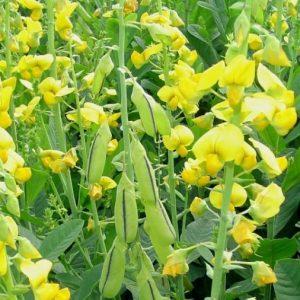 sementes_de_crotalaria_spectabilis1