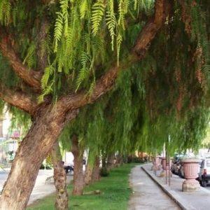 árvore para reflorestamento