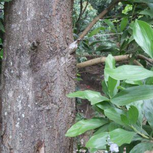acacia-australiana2