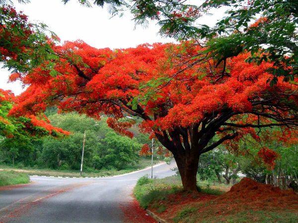 Comprar Sementes De Árvore