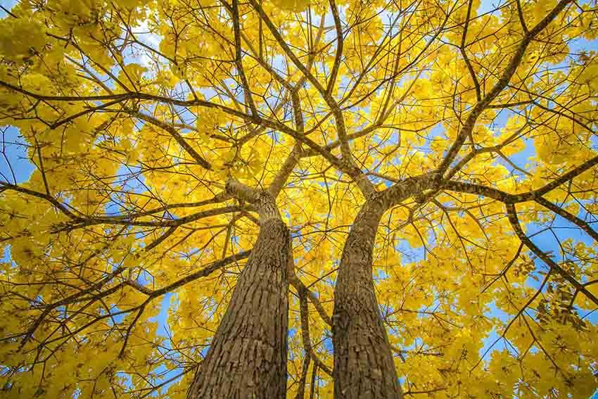 Ipê Amarelo: 10 Sementes - SoFlor Sementes