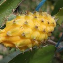 pitaya-yellow-dragon-fruit