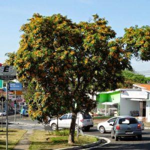 aldrago-pterocarpus-violaceus