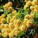 sementes-de-arvore-aldrago