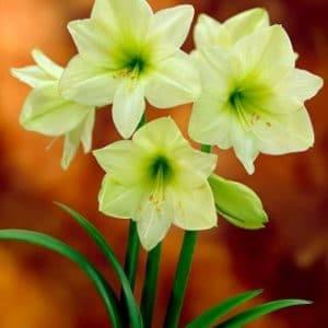 amarilis-verde