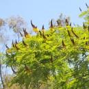 Sibipiruna - Casealpinia peltophoroides