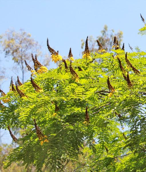 Sibipiruna – Casealpinia peltophoroides