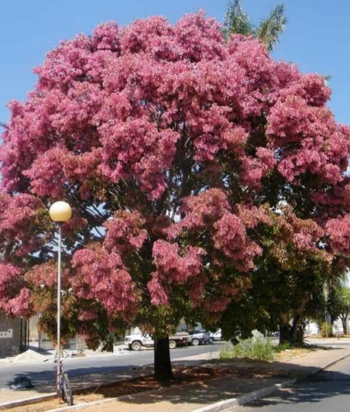 cassia-rosea