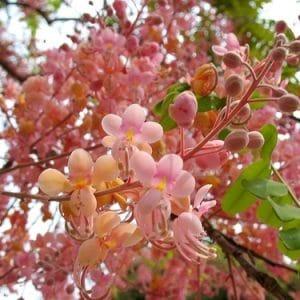 cassia-rosea2