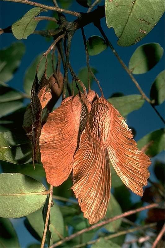 Bilro - Pau amendoim - Pteregyne nitens