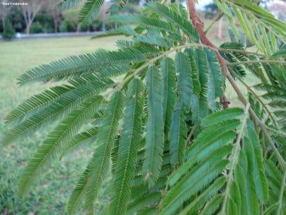 Farinha Seca - Albizia niopoides