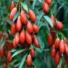 Sementes de Goji Berry para plantar