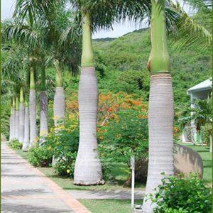 sementes palmeira imperial
