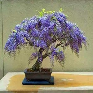 jacaranda mimoso azul