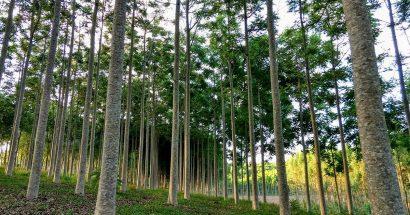 cedro-australiano-mogno-indiano-toona-ciliata