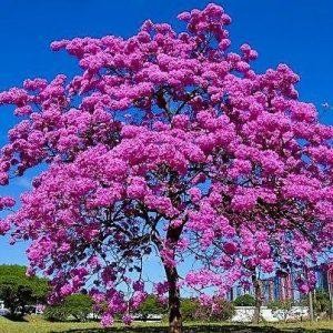 ipe-rosa-handroanthus-impetiginosus-comprar-sementes